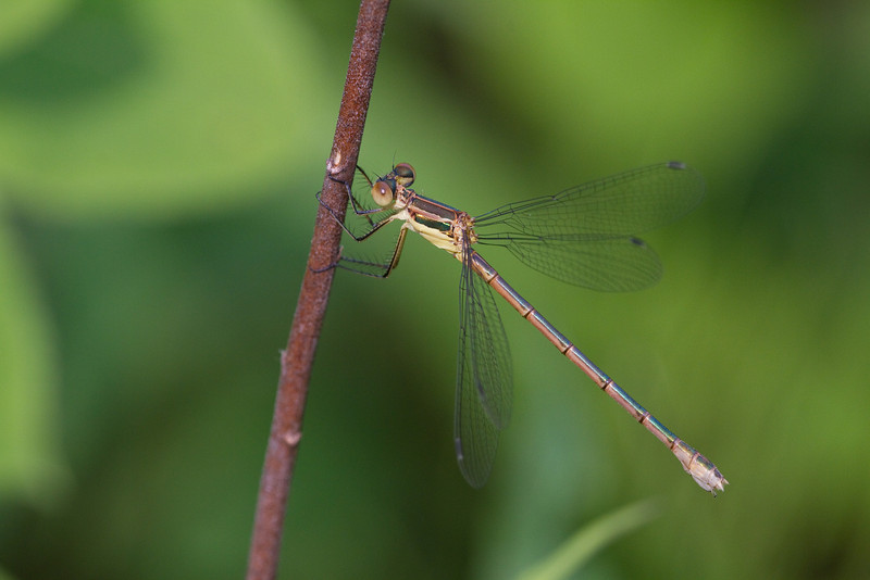 Emerald Spreadwing - June 5, 2011