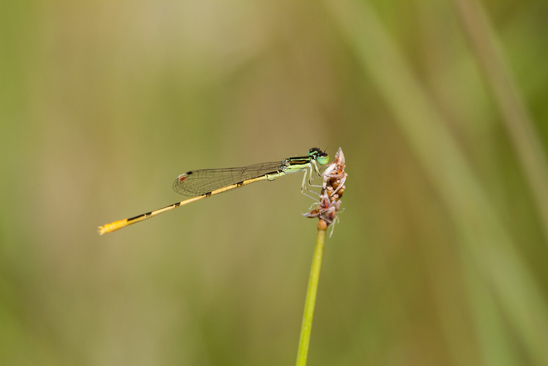 Citrine Forktail - July 13, 2013