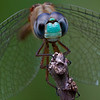 Blue-faced Maedowhawk - September 9, 2012