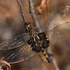 Black Saddlebags - Magee Marsh - September 2008