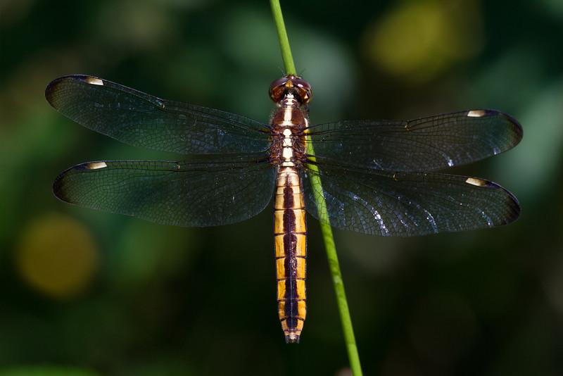 Spangled Skimmer (female) - June 10, 2012