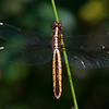 Spangled Skimmer (female) - June 10, 2012