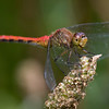 Ruby Meadowhawk - July 2008