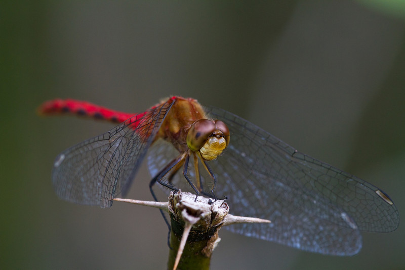 Ruby Meadowhawk - Irwin Prairie State Nature Preserve - July 1, 2012