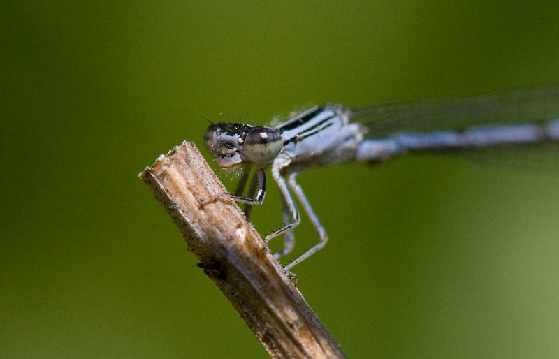 Double Striped Bluet - May 2009