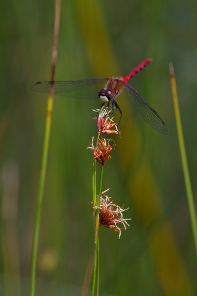 White faced Meadowhawk - June 2010