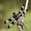Twelve-Spotted Skimmer - June 2008 - Side Cut Metropark