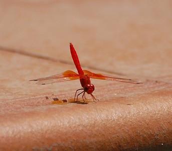 Dragonfly - Orange-winged Dropwing (Trithemis kirbyiused)