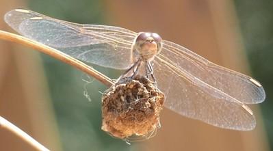Dragon Fly - Desert Darter - (Sympetrum sinaiticum)1
