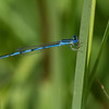 Double striped Bluet - July 13, 2013