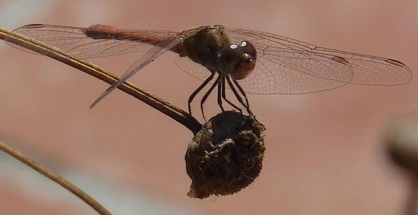 Dragon Fly - Desert Darter - (Sympetrum sinaiticum)