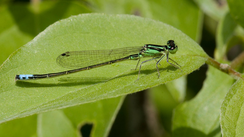 Eastern Forktail - Ottawa Wildlife Refuge - May 2009