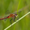Ruby Meadowhawk - Iriwin Prairie - July 1, 2012
