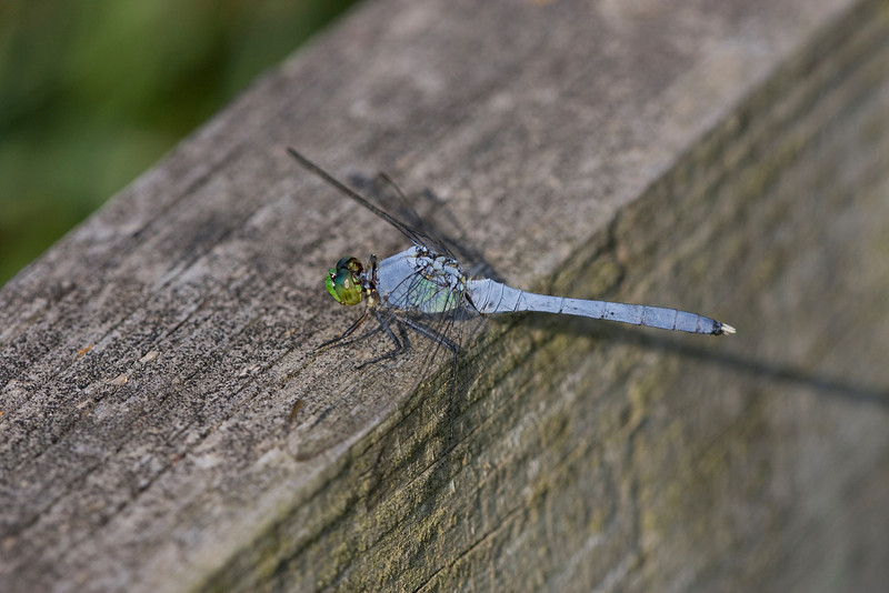 Eastern Pondhawk - ONWR - July 2008