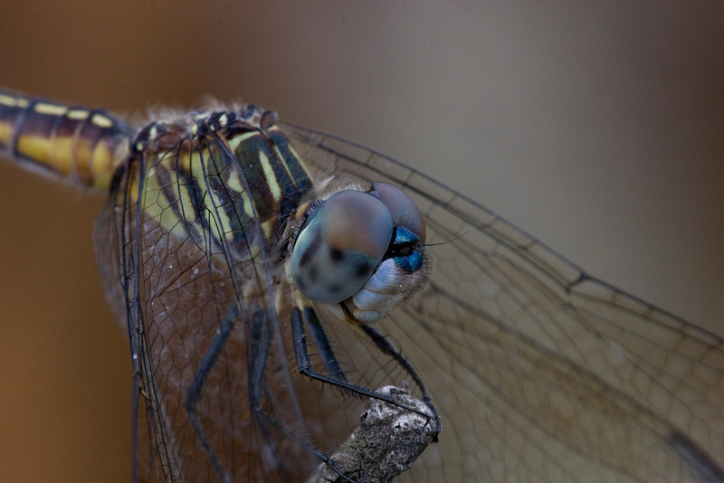 Blue Dasher (female) - ONWR - July 2008
