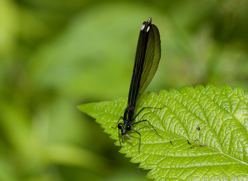 Ebony Jewelwing (female) - June 2009<br /> Note it is eating an insect.  Perhaps a mosquito.  These are very beneficial to have as they eat other bugs!