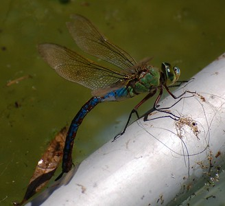 Dragonfly - Blue Emperor (Anax imperator)