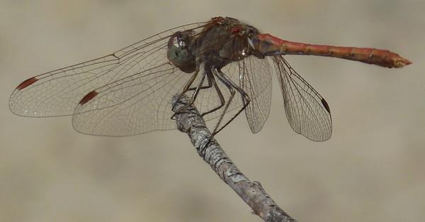 Dragon Fly - Desert Darter - (Sympetrum sinaiticum)2