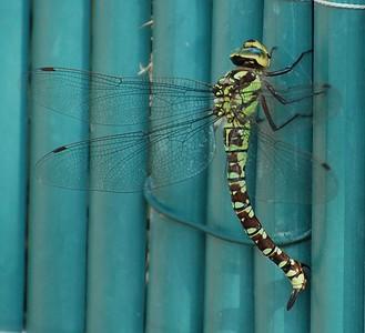 Dragonfly - Southern Hawker (Aeshna cyanea)