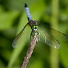 Blue Dasher - ONWR - July 2008