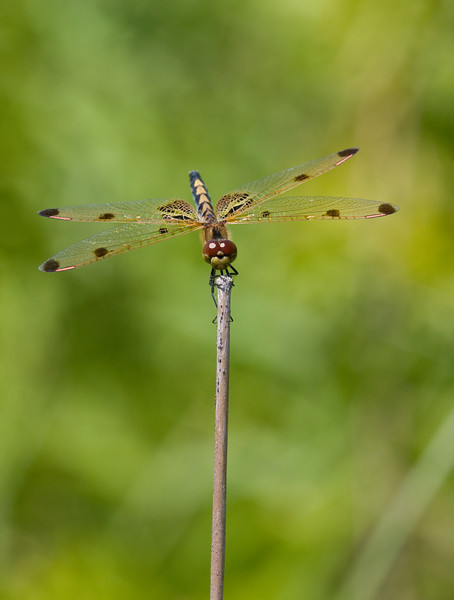 Calico Pennant - July 2008