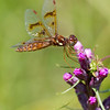 Eastern Amberwing on Blazing Star - July 25, 2010