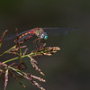 Blue-faced Meadowhawk - Sept 3, 2012<br /> This is a Lucas County Record