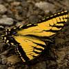Tiger Swallowtail - GSMNP