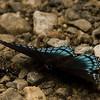 Blue Swallowtail Butterfly - GSMNP