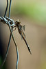 Dragonfly7161