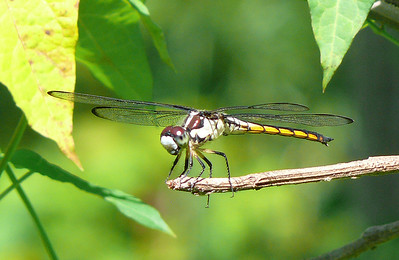 Female Gereat Blue Skimmer