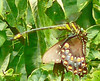 Dragonhunter with a Spicebush Swallowtail,