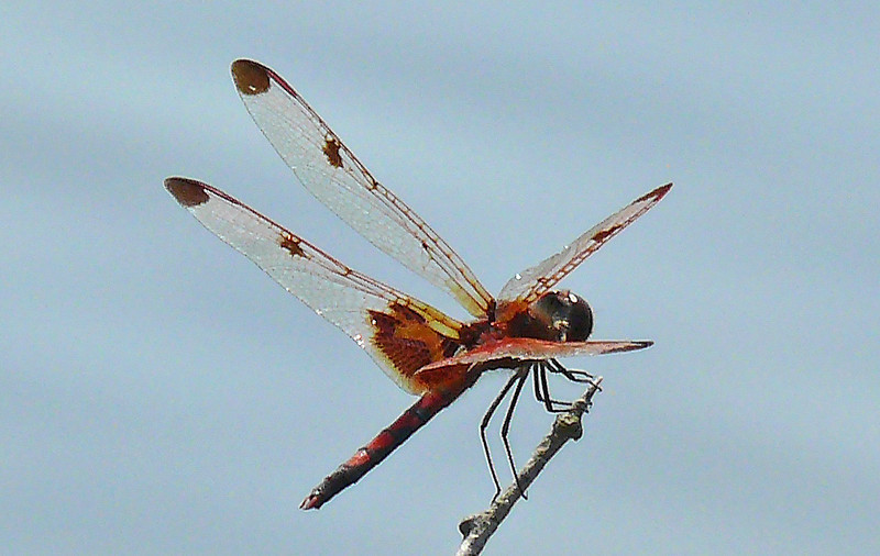 Male Calico Pennant