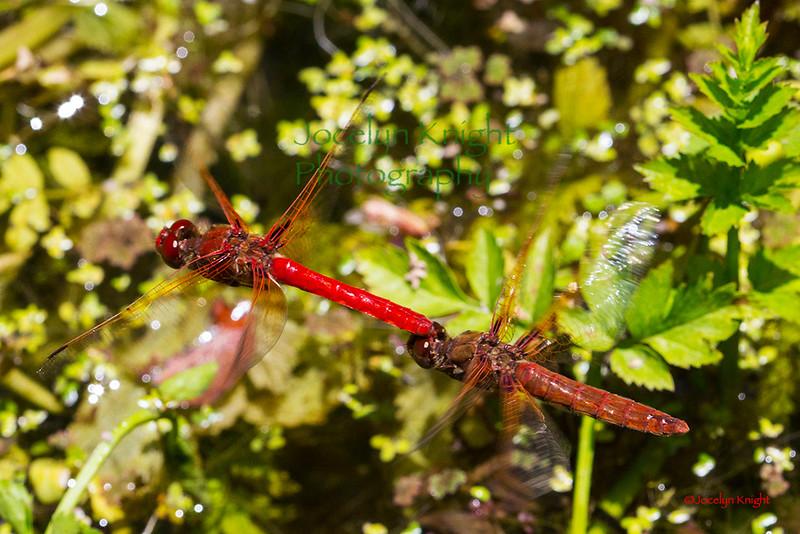 DragonflyLove4514