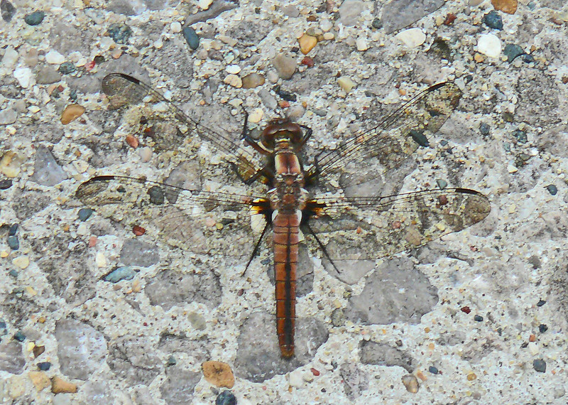 Chalk-fronted Corporal (immature female)