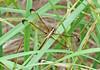 Female Spangled Skimmer