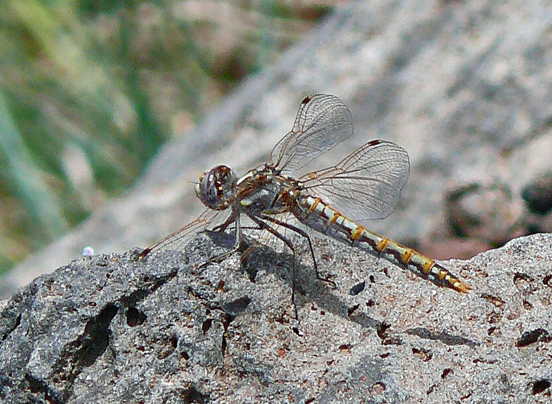 Female Variegated Meadowhawk