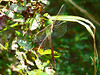 Green Darner female