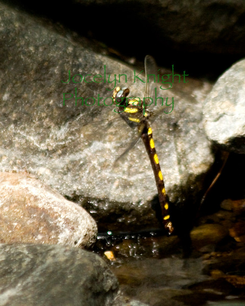 A female Pacific Spiketail of the dragonfly family lays eggs in a creek on the border of Bouverie Preserve late August.