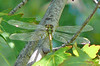 Teneral Russet-tipped Clubtail