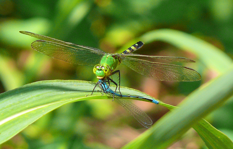 Common Pondhawk eating a Big Bluet
