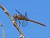 Immature Male Antillean Skimmer