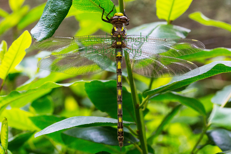 PacificSpiketail0058