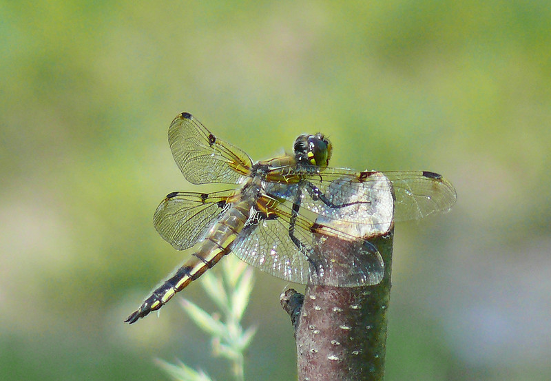 Four-spotted Skimmer (male)