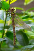 Pacific Spiketail0040