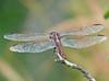 Male Roseate Skimmer