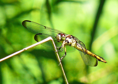 Female Great Blue Skimmer