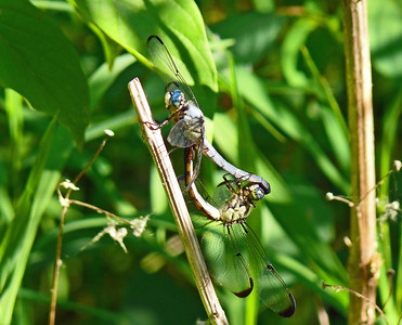 Great Blue Skimmers
