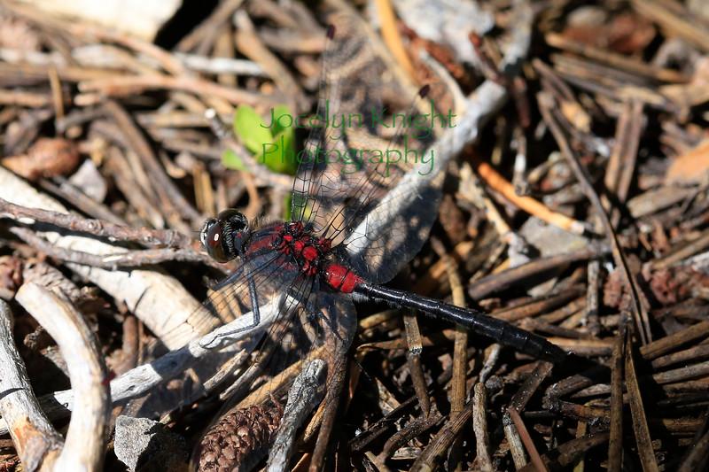 Dragonfly0126