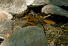 5076 Pacific Spiketail lays eggs in a creek at Bouverie Preserve